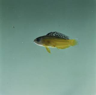 To NMNH Extant Collection (Manonichthys splendens FIN032832 Slide 120 mm)