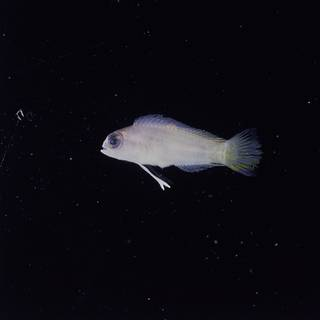To NMNH Extant Collection (Pectinochromis lubbocki FIN032855 Slide 120 mm)