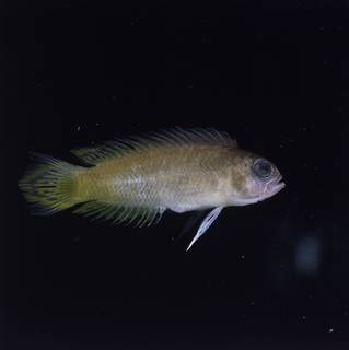To NMNH Extant Collection (Pectinochromis lubbocki FIN032857 Slide 120 mm)