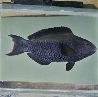 To NMNH Extant Collection (Cetoscarus bicolor FIN032927 Slide 120 mm)