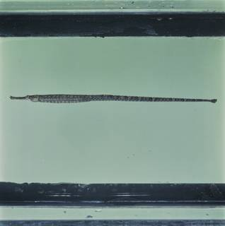 To NMNH Extant Collection (Hippichthys spicifer FIN034520B Slide 120 mm)