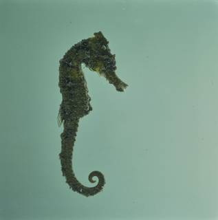 To NMNH Extant Collection (Hippocampus FIN034522 Slide 120 mm)