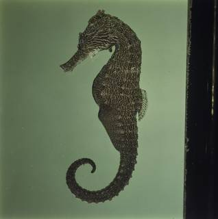 To NMNH Extant Collection (Hippocampus kuda FIN034534 Slide 120 mm)