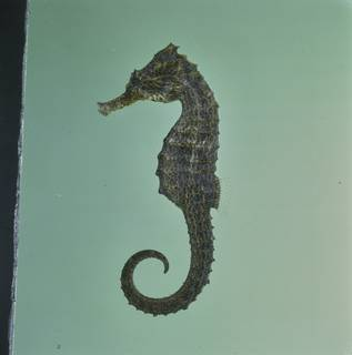 To NMNH Extant Collection (Hippocampus kuda FIN034535 Slide 120 mm)