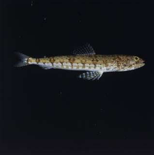 To NMNH Extant Collection (Synodus fasciapelvicus FIN034588 Slide 120 mm)