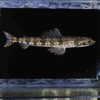 To NMNH Extant Collection (Synodus isolatus FIN034621 Slide 120 mm)