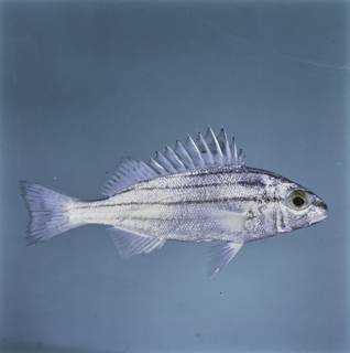 To NMNH Extant Collection (Pelates quadrilineatus FIN034677 Slide 120 mm)