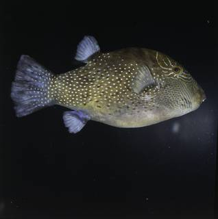 To NMNH Extant Collection (Canthigaster amboinensis FIN034728 Slide 120 mm)