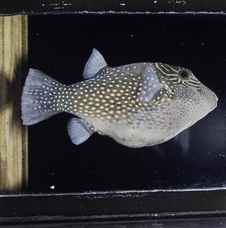 To NMNH Extant Collection (Canthigaster amboinensis FIN034729 Slide 120 mm)