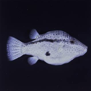 To NMNH Extant Collection (Canthigaster inframacula FIN034751 Slide 120 mm)
