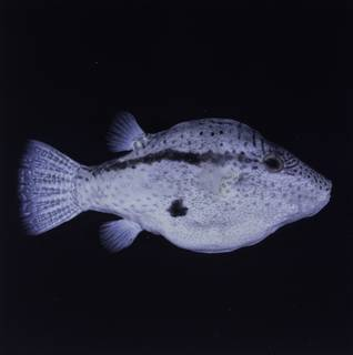 To NMNH Extant Collection (Canthigaster inframacula FIN034751B Slide 120 mm)
