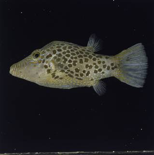 To NMNH Extant Collection (Canthigaster leoparda FIN034758 Slide 120 mm)