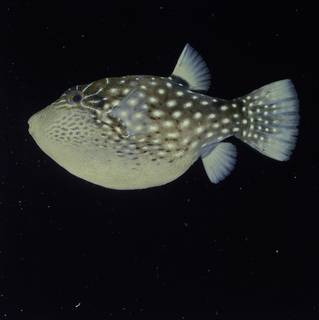 To NMNH Extant Collection (Canthigaster natalensis FIN034763 Slide 120 mm)