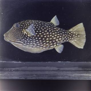 To NMNH Extant Collection (Canthigaster natalensis FIN034764 Slide 120 mm)