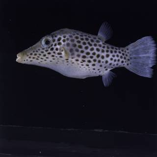 To NMNH Extant Collection (Canthigaster tyleri FIN034782 Slide 120 mm)