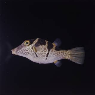 To NMNH Extant Collection (Canthigaster valentini FIN034785 Slide 120 mm)