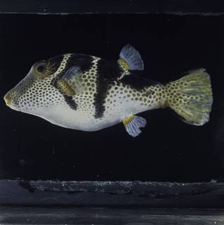 To NMNH Extant Collection (Canthigaster valentini FIN034787 Slide 120 mm)