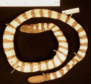 To NMNH Extant Collection (USNM 127992 ventral)