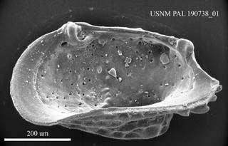 """To NMNH Paleobiology Collection (""""Cythere"""" convoluta USNM PAL 190738_01)"""