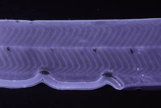 To NMNH Extant Collection (Myrichthys FIN035032 Slide 35 mm)