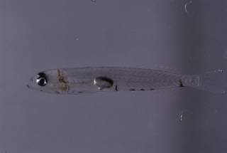 To NMNH Extant Collection (Ctenogobius saepepallens FIN035236 Slide 35 mm)