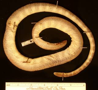 To NMNH Extant Collection (USNM 8995 dorsal)