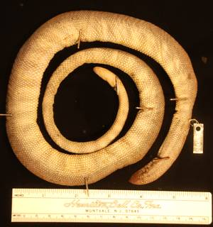 To NMNH Extant Collection (USNM 8995 ventral)