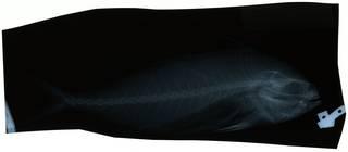 To NMNH Extant Collection (Nematistius pectoralis RAD119569-001)