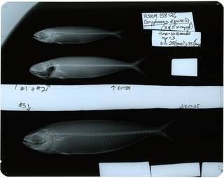 To NMNH Extant Collection (Coryphaena equiselis RAD119573-001)