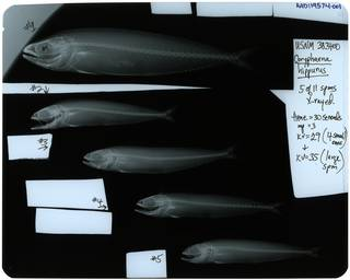 To NMNH Extant Collection (Coryphaena hippurus RAD119574-001)