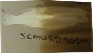To NMNH Extant Collection (Centropristis striata RAD119585-001)
