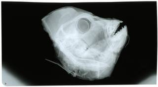 To NMNH Extant Collection (Chrysoblephus gibbiceps RAD119587-001)