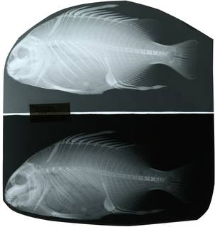 To NMNH Extant Collection (Proteracanthus sarissophorus RAD119623-001)