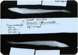 To NMNH Extant Collection (Echeneis neucratoides RAD119753-001)