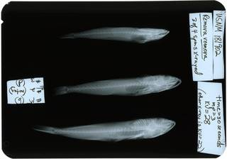 To NMNH Extant Collection (Remora remora RAD119754-001)