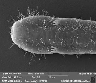 To NMNH Extant Collection (USNM 1274540 - Cephalodasys sp. nov. SN-141121-2A 141121-02, SEM)