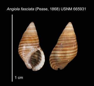 To NMNH Extant Collection (IZ MOL 665931 Shell1 plate)