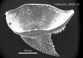"""To NMNH Paleobiology Collection (""""Bairdia"""" sp. USNM PAL 190505_01)"""