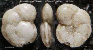 To NMNH Paleobiology Collection (Mississippina monsouri USNM CC 14276 holotype)
