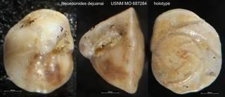 To NMNH Paleobiology Collection (Neoeponides dejuanai USNM MO 687284 holotype)