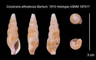 To NMNH Extant Collection (Colubraria alfredensis Bartsch 1915,    USNM 187017)