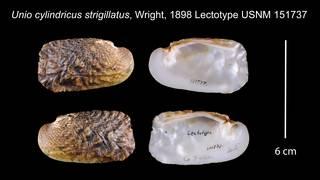 To NMNH Extant Collection (Unio cylindricus strigillatus Wright, 1898    USNM 151737)