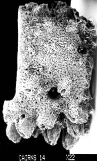 To NMNH Extant Collection (Errina fissurata USNM 59876 branch segment with dactylopore spines)
