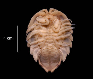 To NMNH Extant Collection (Serolis bouvieri USNM 123902 ventral view)