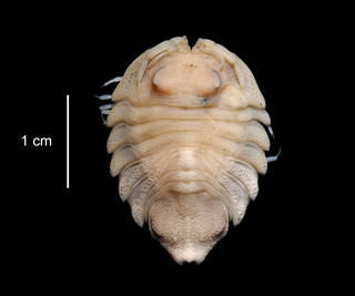 To NMNH Extant Collection (Serolis bouvieri USNM 123902 dorsal view)