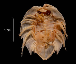 To NMNH Extant Collection (Serolis pagenstecheri USNM 123984 ventral view)