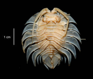 To NMNH Extant Collection (Serolis trilobitoides USNM 15313 dorsal view)