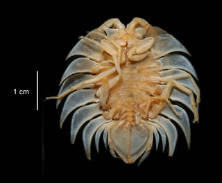 To NMNH Extant Collection (Serolis trilobitoides USNM 15313 ventral view)