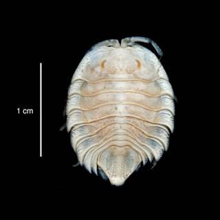 "To NMNH Extant Collection (Serolis septemcarinata USNM 46302 specimen ""a"" dorsal view)"