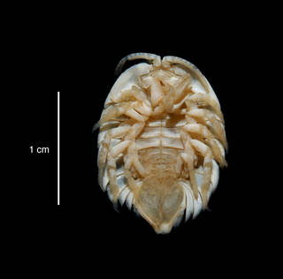 "To NMNH Extant Collection (Serolis septemcarinata USNM 46302 specimen ""a"" ventral view)"